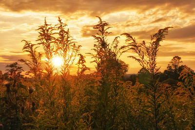 Goldenrod at Sunset