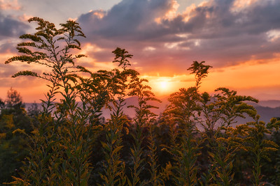 Goldenrod at Sunrise