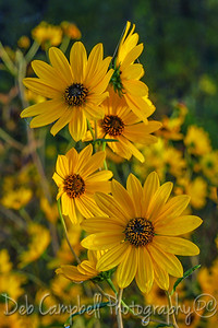 Narrow Leafed Sunflower