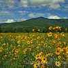 Narrow Leafed Sunflower<br /> blooming in the fields of Cades Cove<br /> Great Smoky Mountains