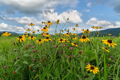 Black Eyed Susan's in the Meadow