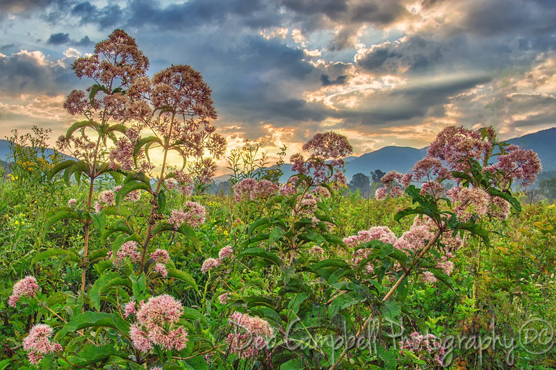 Joe-Pye Weed Sunrise