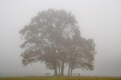 LeQuire Tree in Fog