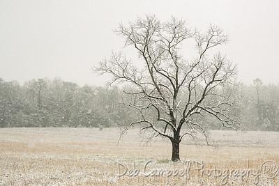 Snow covered Walnut Tree
