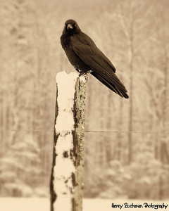 Crow In Snow