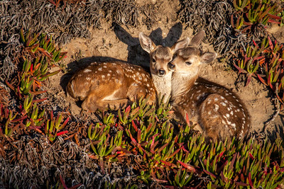 Two black-tailed (mule) deer fawns cuddle and prepare for sleep. They were just led by their mother to this protected spot on a steep rocky slope at Point Reyes in Point Reyes National Seashore, California
