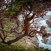 Algae-Covered Cypress, Point Lobos State Reserve