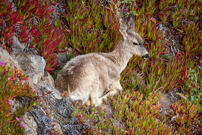 A black-tailed (mule) deer beds down for the night near her young ones on a rocky slope at Point Reyes in Point Reyes National Seashore, California.