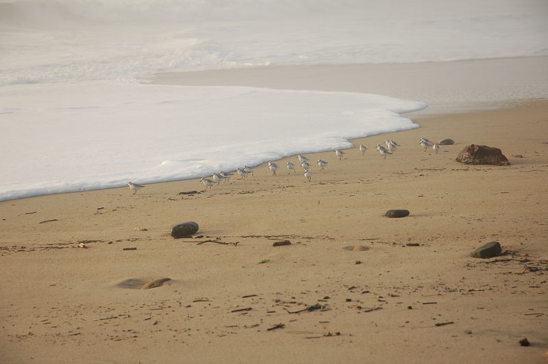 Sanderlings on the run