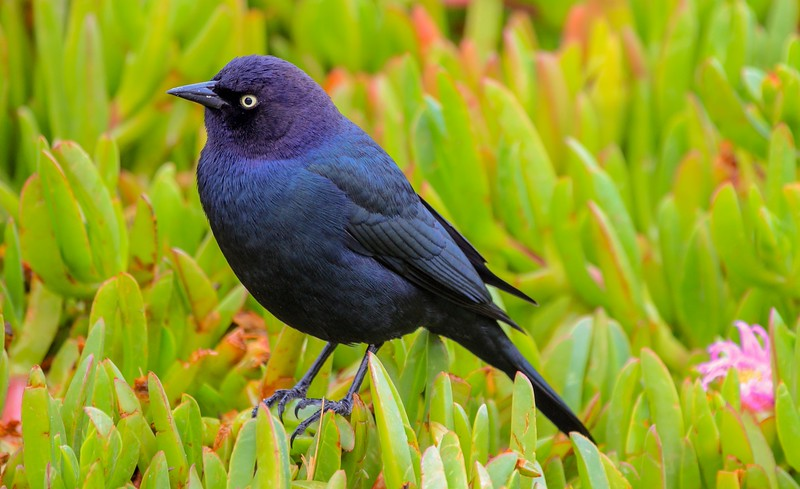 Some guys from Monterrey Audobon Society were on a 6 week survey on the Peninsula. These Brewer's Blackbirds had become fond of them and were perched on nearby groundcover like pets.