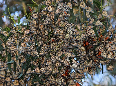 Monarch Butterflies at the Butterfly Grove in Pismo Beach, Ca., December 2015.