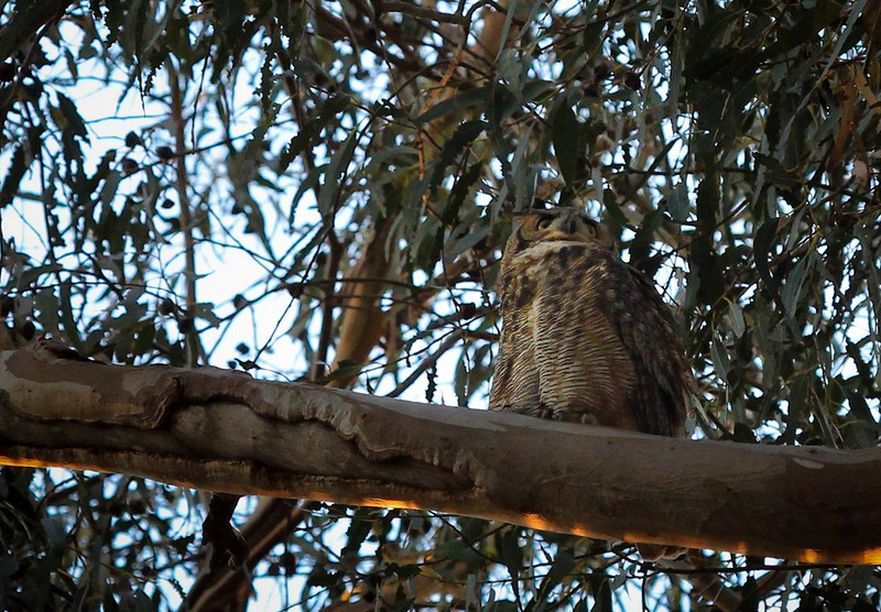 A Great Horned Owl was hanging out and looking for unsuspecting birds passing through the Butterfly Grove.