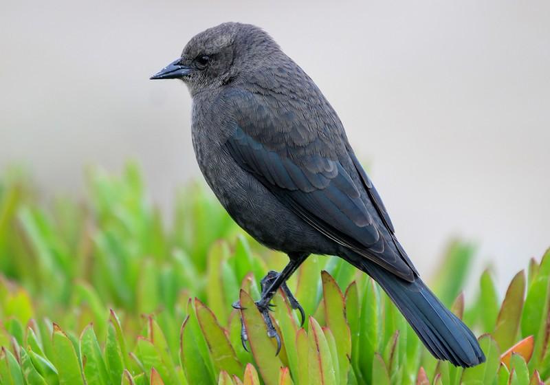 Female Brewer's Blackbird, another Audobon groupie. Distance was maybe 6 feet.