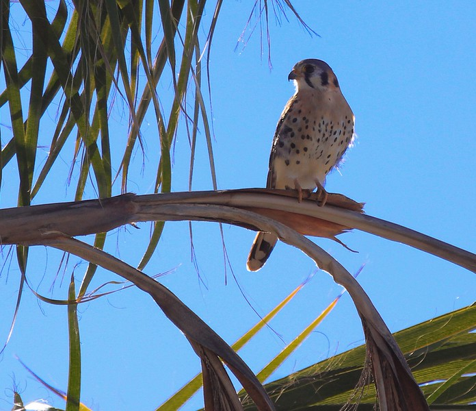 An American Kestrel watches for prey at Swamis surf beach on Sunday, Dec 13.