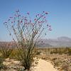 Ocotillo in Joshua Tree National Park Desert