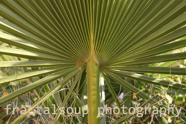 Base of a green fan palm with stringy threads