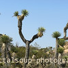 Set of Joshua Trees in Southwest Desert