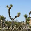 Set of Joshua Trees in Southwest Desert