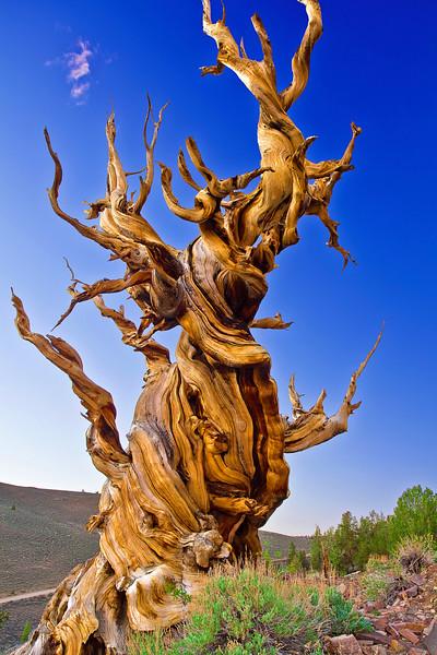 California, Eastern Serrias, Ancient Bristlecone Pine,  加利福尼亚, 远古狐尾松