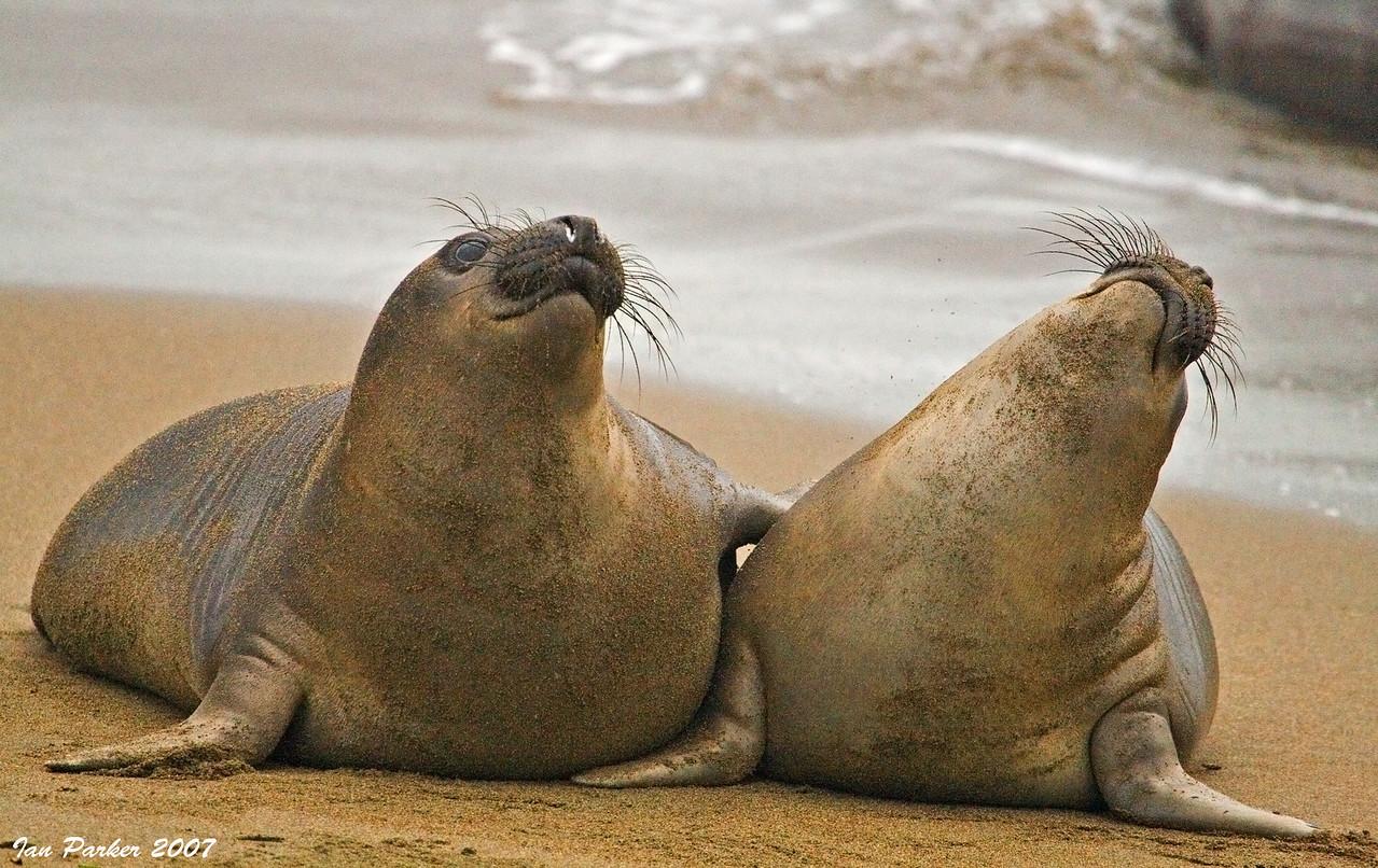 Elephant seals; Piedras Blancas