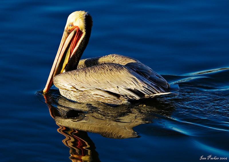 Pelican in blue: Bolsa Chica
