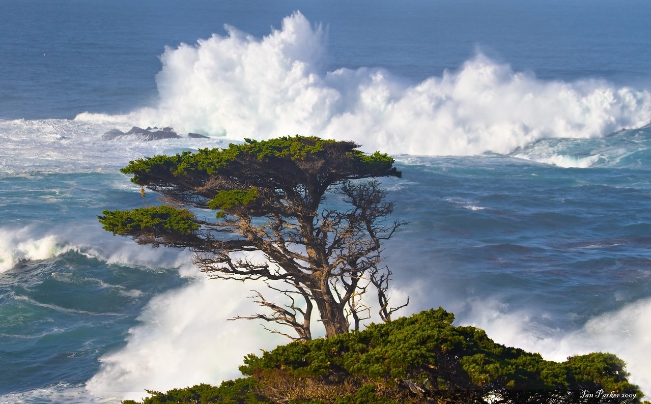 Lone cypress and surf; Point Lobos