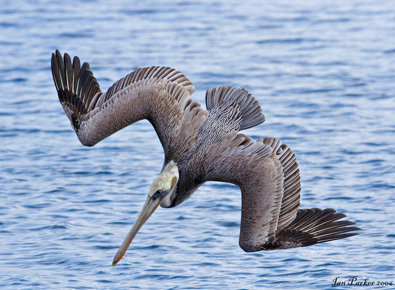 Diving pelican; Bolsa Chica