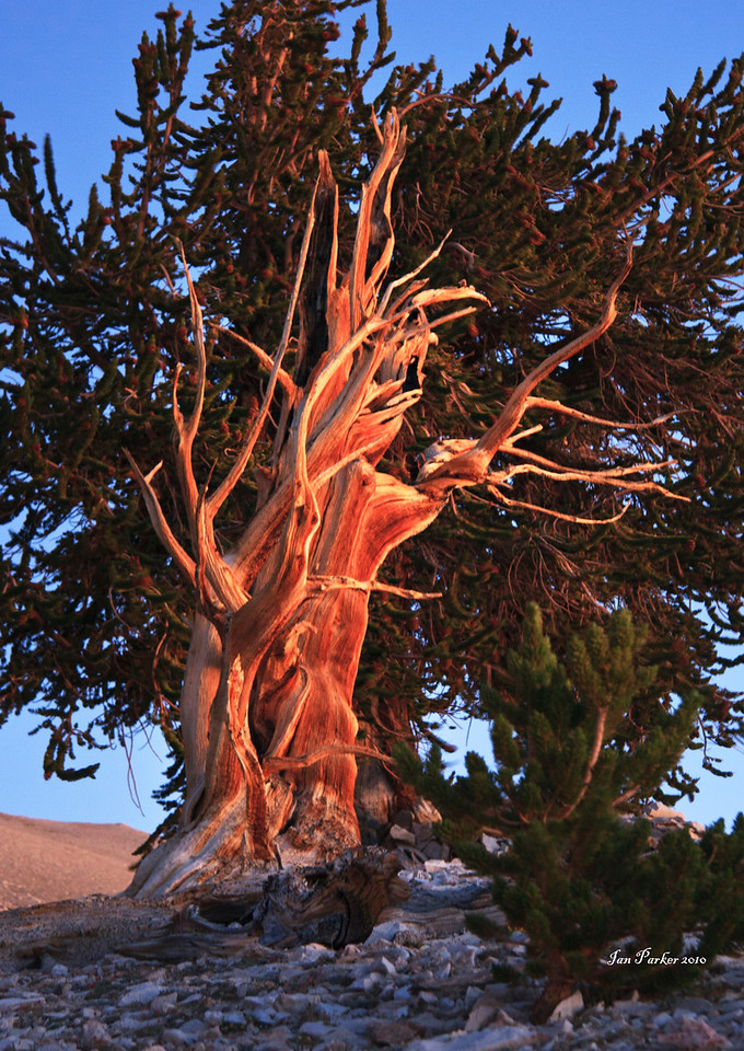 Quick and the dead; Bristlecone Pines, White Mountain