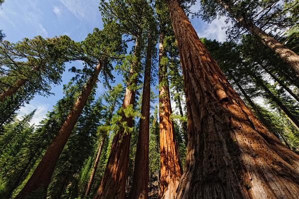 Giant Sequoias - Yosemite National Park - California