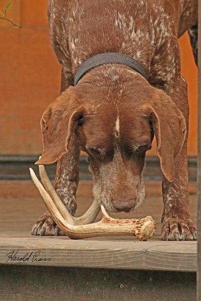 A dog taken June 14, 2011 near Bridgeville, CA.