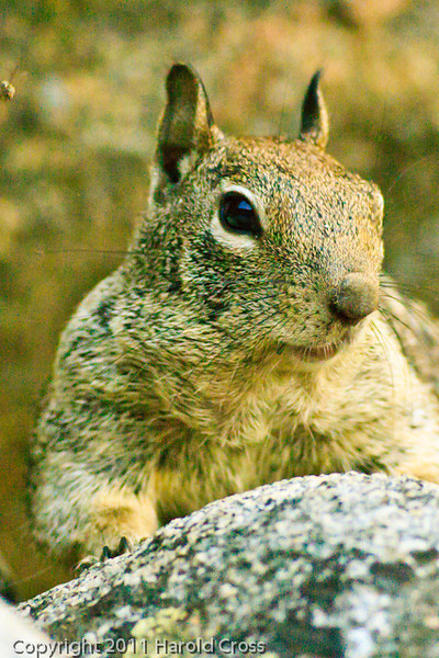 A squirrel taken Sep. 27, 2011 at Yosemite National Park.