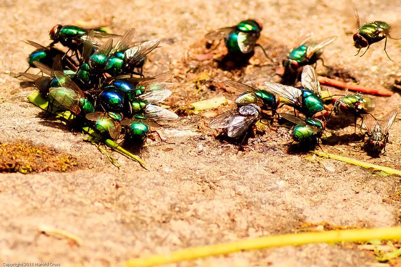 Flies taken June 17, 2011 near Bridgeville, CA.