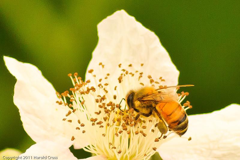 A bee taken Jun 12, 2011 near Arcata, CA.