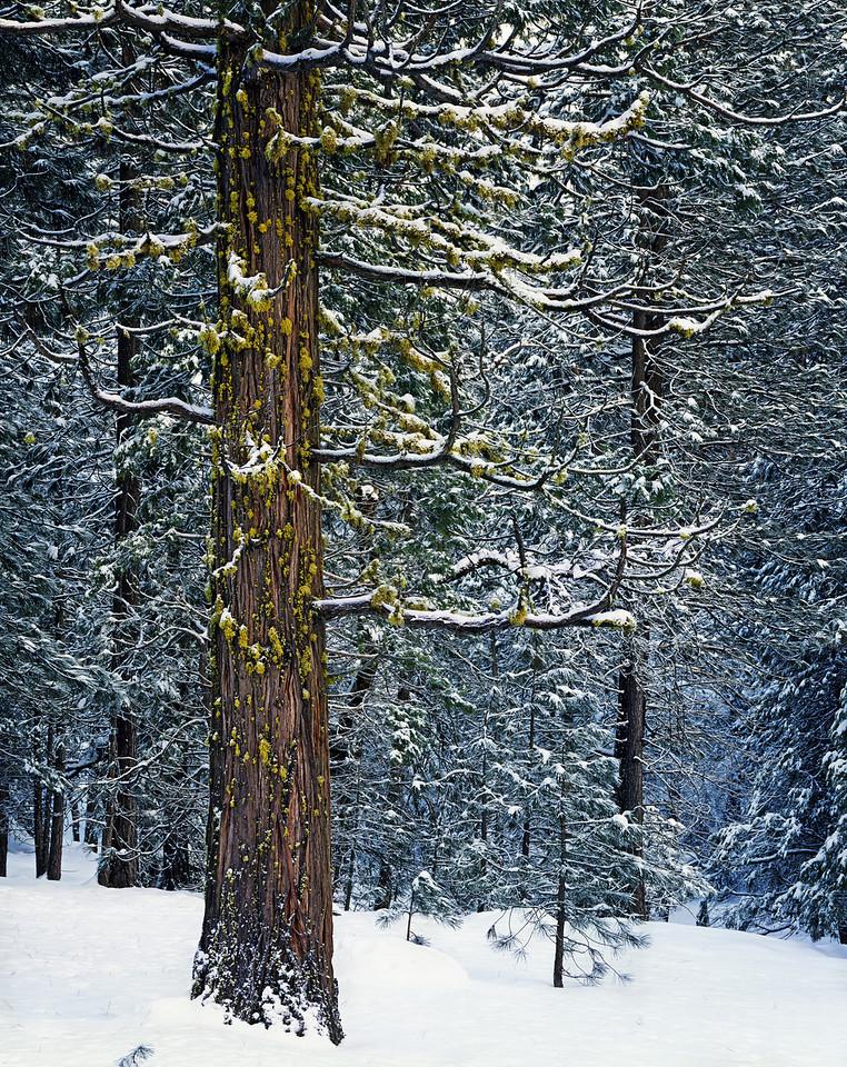 Snowy morning, cedar and lichen