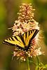 A butterfly taken June 12, 2011 near Bridgeville, CA.