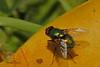 A fly taken June 14, 2011 near Bridgeville, CA.
