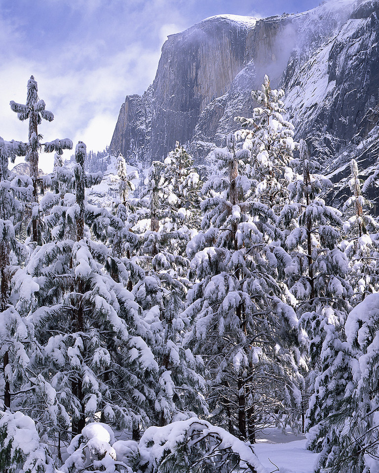 Snow-bedecked pine and Half Dome