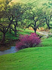 Redbud and oaks, spring