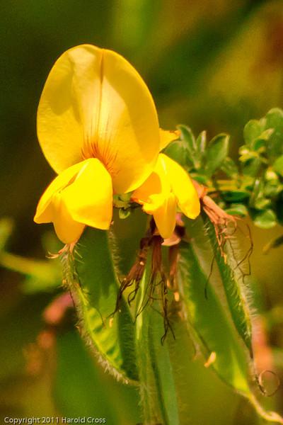 A wildflower taken June 17, 2011 near Bridgeville, CA.