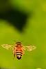 A bee taken June 17, 2011 near Bridgeville, CA.