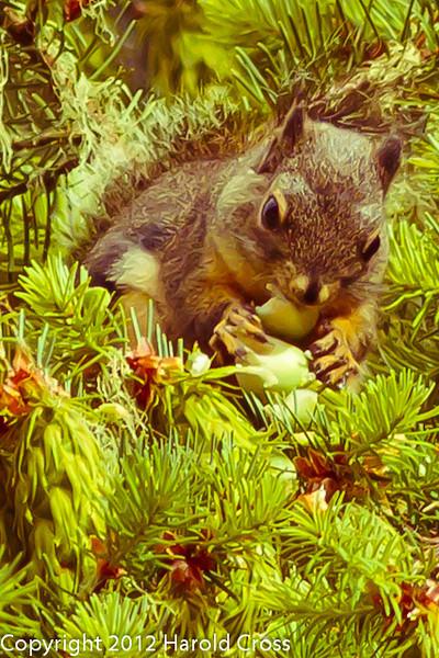 A Squirrel taken Jun. 20, 2012 in Bridgeville, CA.