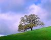 Lone oak, morning, early spring