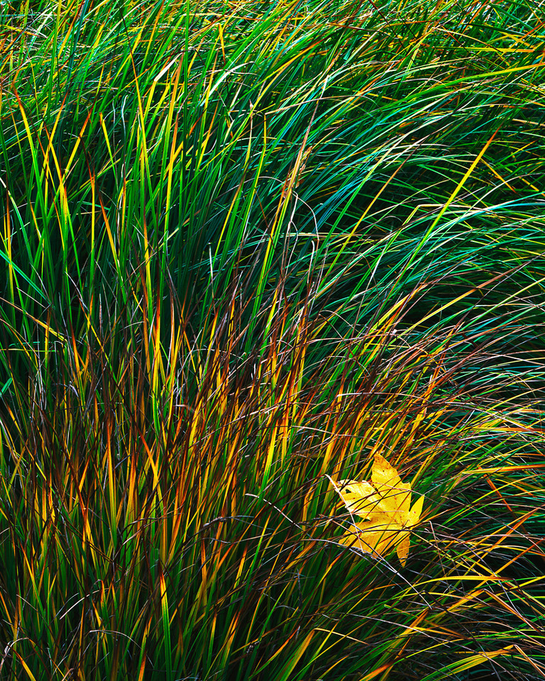 Maple leaf and grasses, fall