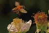 A bee taken June 14, 2011 near Bridgeville, CA.