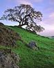 Daybreak. Oak and green hills