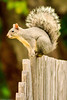 A squirrel taken June 14, 2011 near Bridgeville, CA.