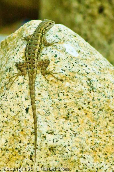 A Lizard taken Sep. 27, 2011 at Yosemite National Park.