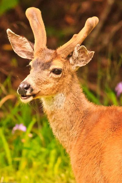 A deer taken June 10, 2011 near Bridgeville, CA.