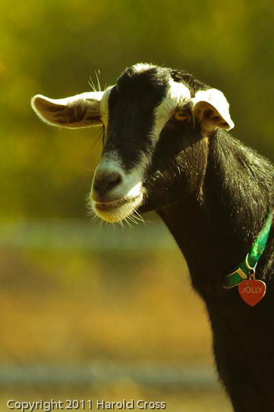 A goat taken Sep. 28, 2011 near Oakdale, CA.