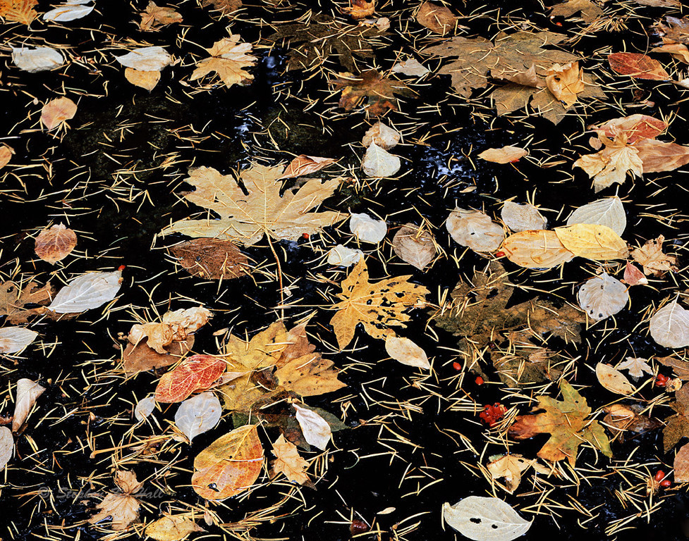Maple and dogwood leaves, fall